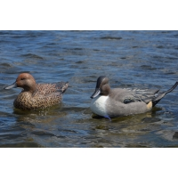 Avian-X Nothern pintails
